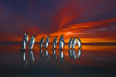 King penguins (Aptenodytes patagonicus) at sunset Falklands. Highly honoured in the Ocean View Category of the Nature's Best Winland Smith Rice Ocean View Competition 2017