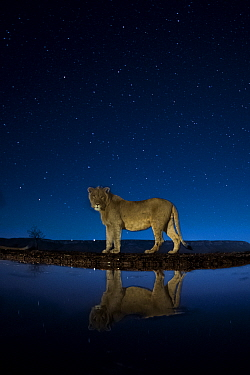 African lion (Panthera leo) at waterhole at night, Mkuze, South Africa Third place in the Nature Portfolio category of the World Press Photo Awards 2017.