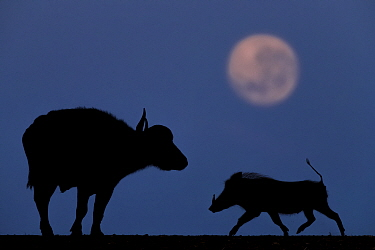 Buffalo (Bison bison) and Warthog (Phacochoerus africanus) at night with full moon, Mkuze, South Africa Third place in the Nature Portfolio category of the World Press Photo Awards 2017.