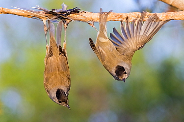 Eurasian blackcaps (Sylvia atricapilla) caught on limed stick, Cyprus. Finalist in The Wildlife Photojournalist Award: Single Image Category of the Wildlife Photographer of  the Year Awards (WPOY) Com...