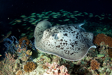 Marbled stingray (Taeniurops meyeni) over reef at night, Maldives, Indian Ocean