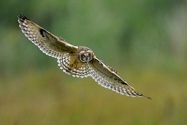Short eared owl (Asio flammeus) in flight over Vendeen Marsh, West France, June