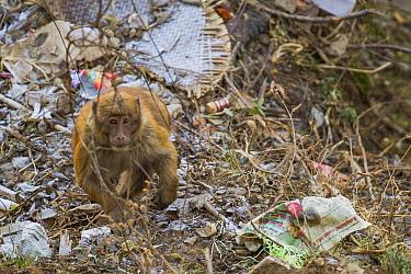 Arunachal macaque (Macaca munzala) sitting among litter, Arunchal Pradesh, Himalayas, India.