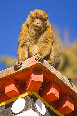 Arunachal macaque (Macaca munzala)  on roof of building, Tawang, Arunchal Pradesh, Himalayas, India.