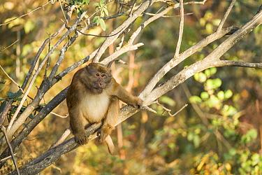 Arunachal macaque (Macaca munzala) Arunchal Pradesh, Himalayas, India.