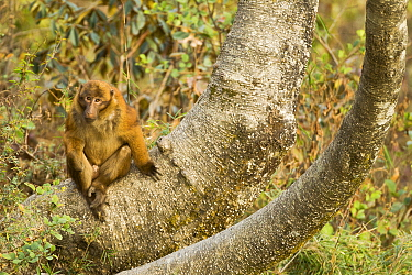 Arunachal macaque (Macaca munzala) male, Arunchal Pradesh, Himalayas, India.