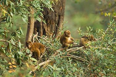 Arunachal macaque (Macaca munzala) babies playing in tree, Arunchal Pradesh, Himalayas, India.