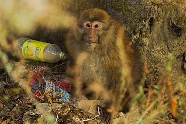 Arunachal macaque (Macaca munzala) with discarded plastic bottle rubbish, Arunchal Pradesh, Himalayas, India.