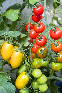 Tomatoes (Solanum lycopersicum)  'Suncherry Smile', and 'Blush Tiger'.