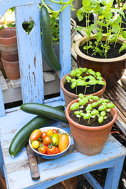 Cucumbers, 'Louisa' F1, Tomatoes (Solanum lycopersicum) including 'Suncherry Smile',  'Green Tiger', 'Blush Tiger',  'Pink Tiger' and pots of sweet basil.