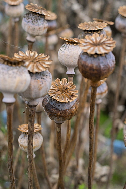 Opium poppy (Papaver somniferum)  dried seedheads.