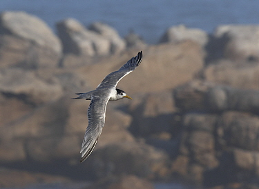 Greater crested tern (Thalasseus bergii) flying against a backdrop of the South Atlantic Ocean. Lambert's Bay, South Africa.
