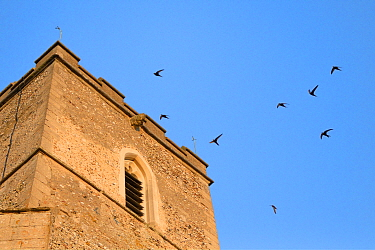 Swifts (Apus apus) flying and calling around All Saints Church bell tower at dusk, where a large colony breeds in nestboxes behind the window louvres, Worlington, Suffolk, July.