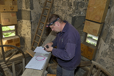 Simon Evans ringing a Common swift chick (Apus apus) removed briefly from a nest box in All Saints Church belfry with over 40 swift nestboxes, Worlington, Suffolk, UK, July. Model released.