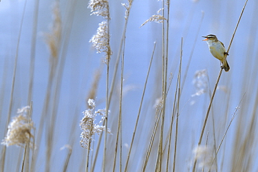 Sedge warbler (Acrocephalus schoenobaenus) adult singing in reedbed. Baie de Somme. France. April