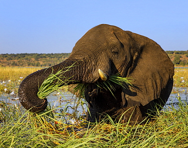 African elephant (Loxodonta africana) feeding on grasses, Chobe River, Chobe National Park,  Botswana. May.