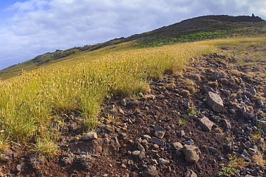View of Castanheira valley partly covered with Bulbous canary-grass (Phalaris aquatica), this invasive species threatens the habitat of the Deserta Grande wolf spider (Hogna ingens), Deserta Grande, M...