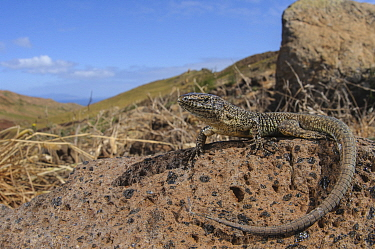 Madeira wall lizard (Teira dugesii), Deserta Grande, Madeira, Portugal. Endemic to Madeira.