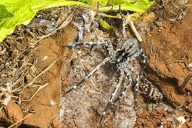 Male Deserta Grande wolf spider (Hogna ingens) in den with old moult material, Deserta Grande, Madeira, Portugal. Critically endangered.