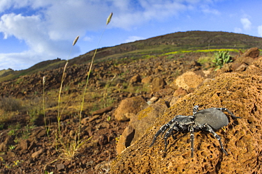 Female Deserta Grande wolf spider (Hogna ingens), with Bulbous canary-grass (Phalaris aquatica), the spider's habitat is threatened by this invasive species, Deserta Grande, Madeira, Portugal. Critica...
