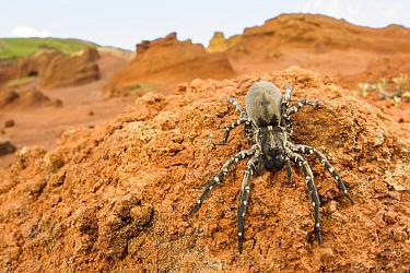 Deserta Grande wolf spider (Hogna ingens), Deserta Grande, Madeira, Portugal. Critically endangered.
