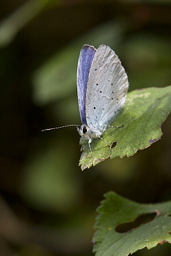 Holly blue butterfly (Celastrina argiolus), Sark, British Channel Islands, August.