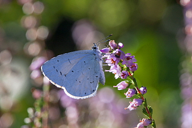 Holly blue butterfly (Celastrina argiolus) on heather, Sark, British Channel Islands, August.