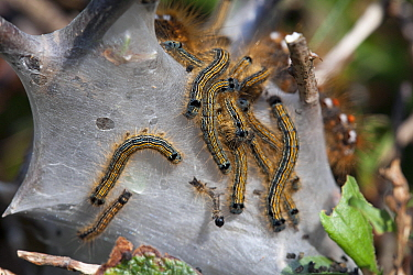 Lackey moth (Malacosoma neustria)  caterpillars and tent  Sark, British Channel Islands, April.
