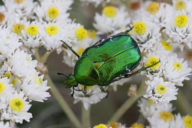 Rose chafer beetle (Cetonia aurata), Sark, Biritsh Channel Islands