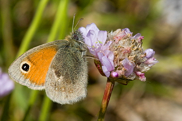 Small Heath (Coenonympha pamphilus), Sark, British Channel Islands, May.