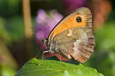 Gatekeeper Butterfly (Pyronia tithonus), Sark, British Channel Islands, August.