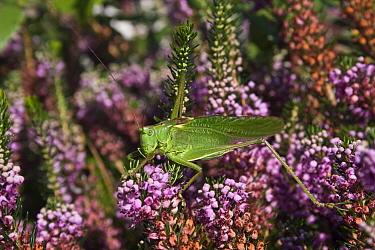 Great green bush-cricket (Tettigonia viridissima), on buddleia,  Sark, British Channel Islands, August.
