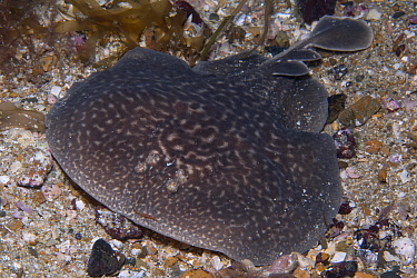 Marbled electric ray (Torpedo marmorata) Les Ecrehous, Jersey, British Channel Islands, June.