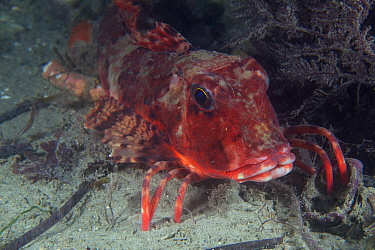 Streaked Gurnard (Trigloporus lastoviza), Jersey, British Channel Islands, September