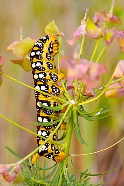 Spurge hawkmoth caterpillar (Hyles euphorbiae) on Spurge (Euphorbia sp.) foodplant, Alpes de Haute-Provence, France, June.