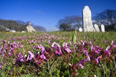 Lousewort (Pedicularis sylvatica) in graveyard, Sark, British Channel Islands, April.