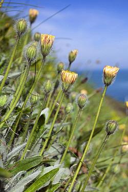 Smooth cat's-ear (Hypochaeris glabra) Sark, Britsh Channel Islands, May.