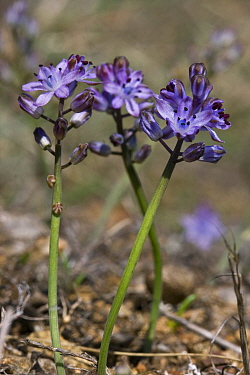 Autumn squill (Scilla autumnalis) Sark, British Channel Islands, August.