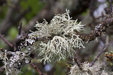 Sea ivory lichen, (Ramalina siliquosa), Sark, British Channel Islands, April.