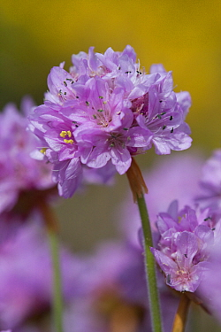 Thrift (Armeria maritima), Sark, British Channel Islands, May.