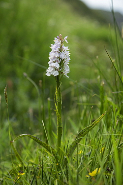 Heath spotted-orchid (Dactylorhiza maculata), Sark, British Channel Islands, May.