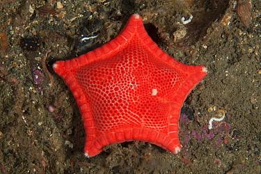 Cushion Star (Ceramaster granularis), Trondheimsfjord, Norway, July.