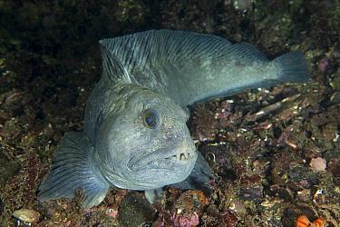 Wolf eel (Anarrhichthys ocellatus), Trondheimsfjord, Norway, July.