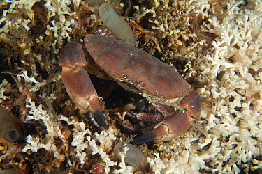 Edible crab (Cancer pagurus) on deep water coral reef (Lophelia pertusa) Trondheimsfjord, Norway, July.