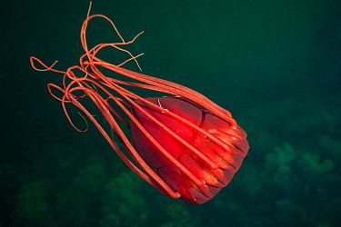 Deep sea jellyfish (Periphylla periphylla), Trondheimsfjord, Norway, July.