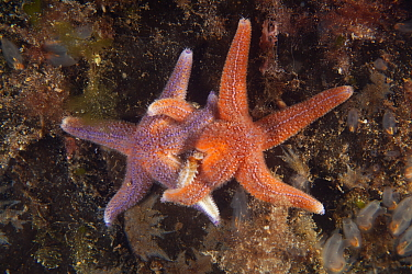 Common starfish (Asterias rubens) mating behaviour, Trondheimsfjord, Norway, July.