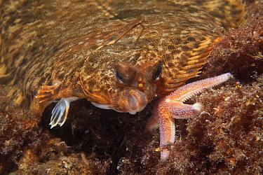 Flounder (Platichthys flesus), Trondheimsfjord, Norway, July.