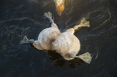 Mute swan (Cygnus olor) cygnets with head submerged while feeding underwater, with mother watching and helping, Derbyshire, England, UK. June. Highly Commended in the Animal Behaviour category of the...