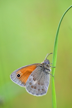 Small heath butterfly (Coenonympha pamphilus), La Brenne Regional Natural Park, France, June.