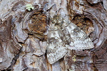 Blue underwing moth (Catocala fraxini) camouflaged on tree, Loir-et-Cher, France, October.